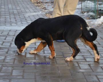 Энтлебухер зенненхунд, перспективные щенки