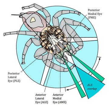 Схема строения паука.